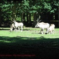gazelles-antilopes-3