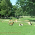 gazelles-antilopes-5