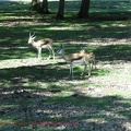 gazelles-antilopes-1
