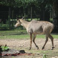 gazelles-antilopes-8
